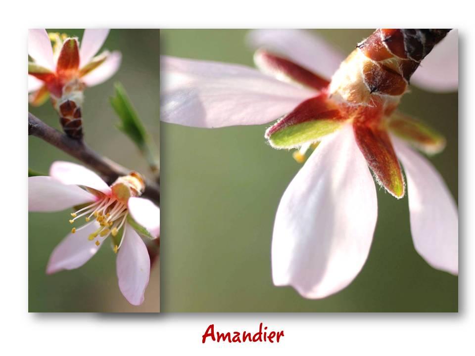 Nature_flore_amandier_01