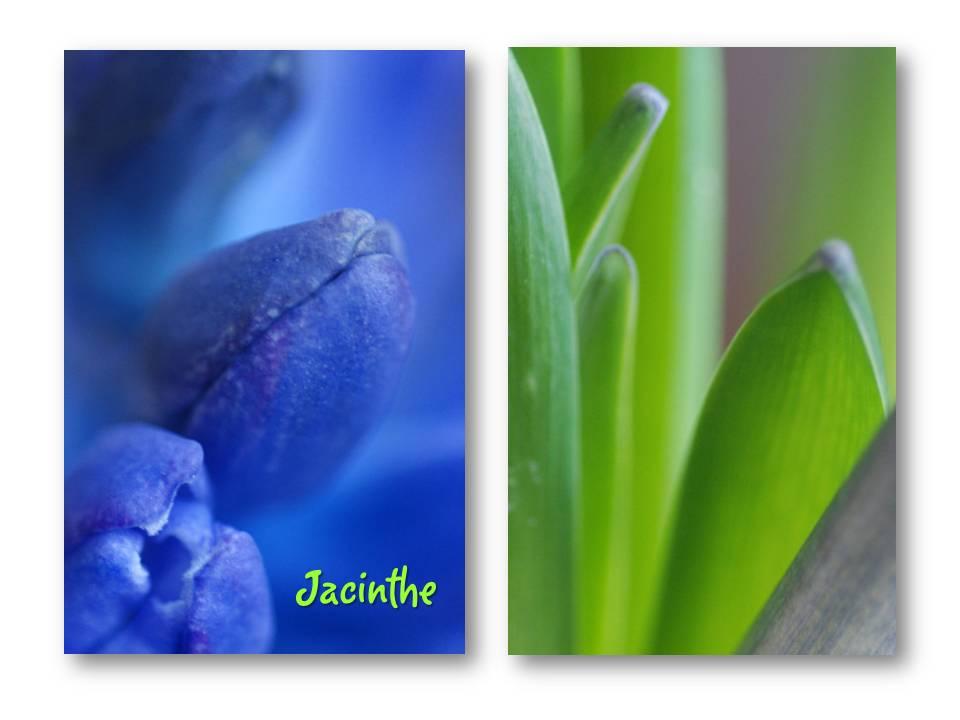 Nature_flore_jacinthe_01
