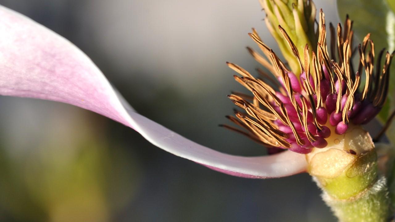 Nature_flore_Magnolia_04