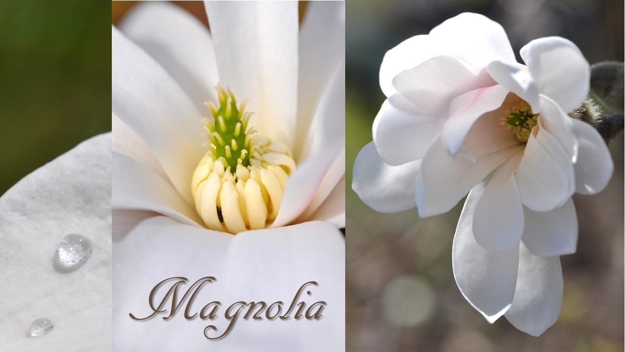 Nature_flore_Magnolia_07