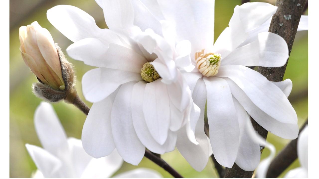 Nature_flore_Magnolia_10