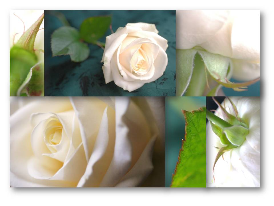 Nature_flore_rose_01