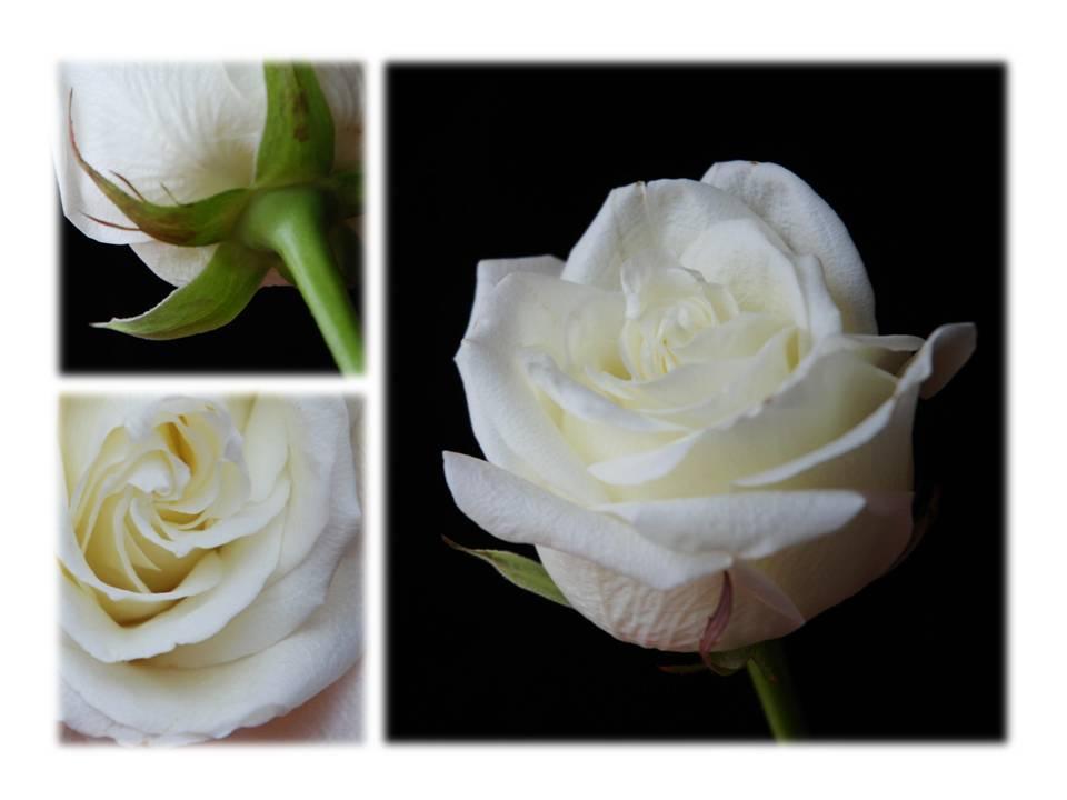 Nature_flore_rose_02