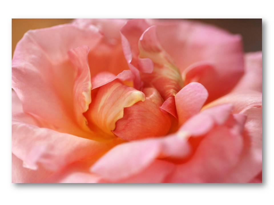 Nature_flore_rose_04