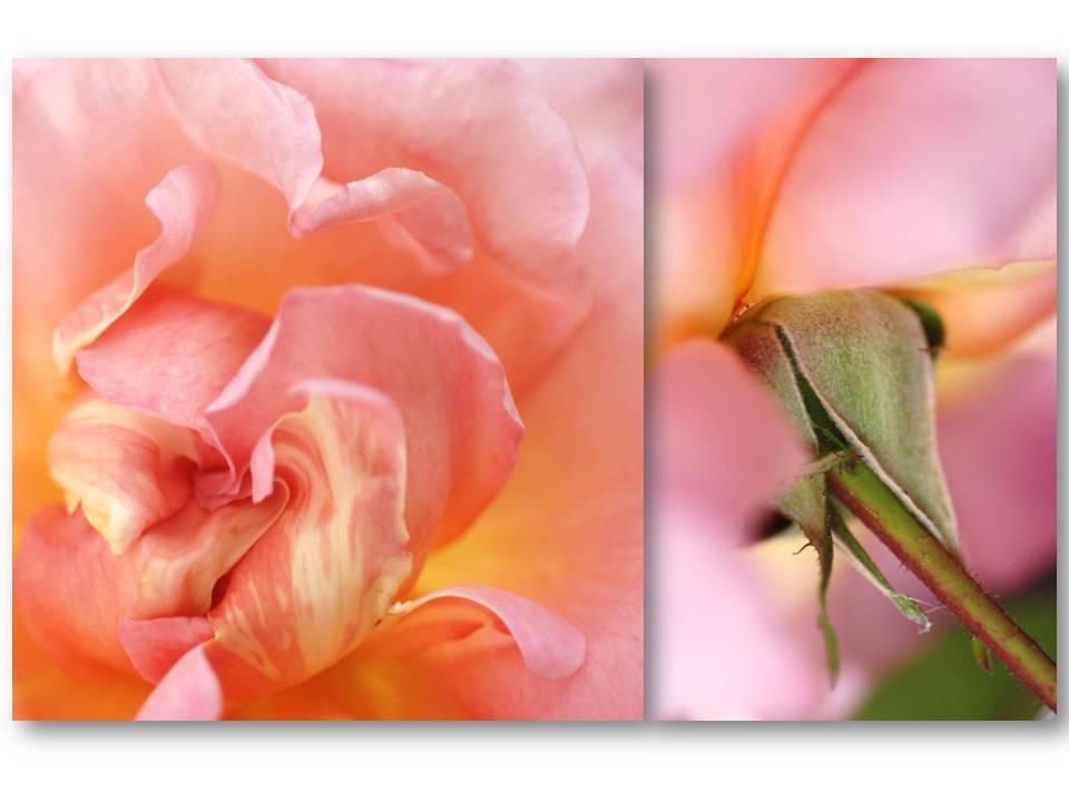 Nature_flore_rose_05