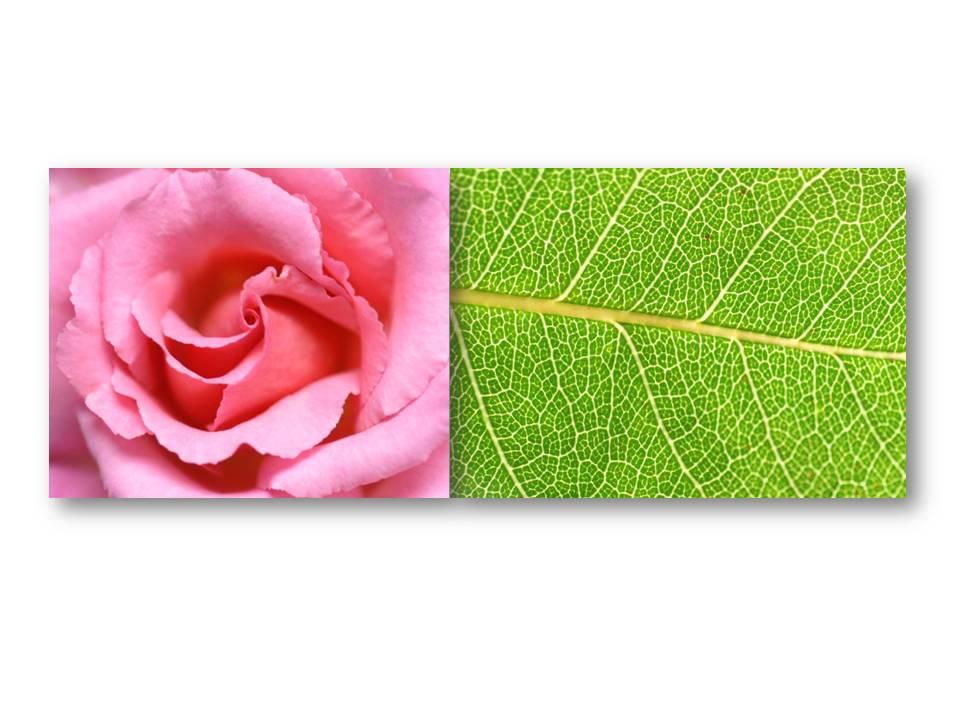 Nature_flore_rose_08