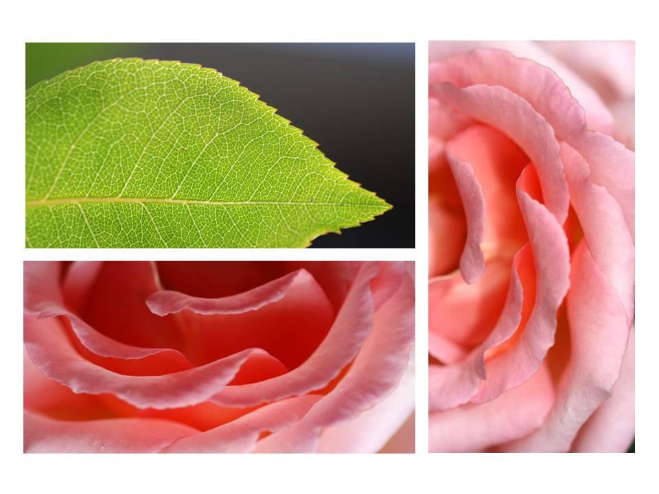 Nature_flore_rose_10