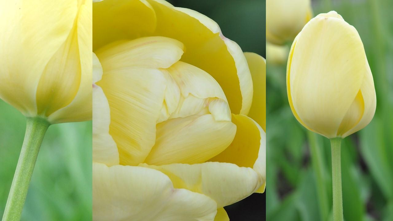 Nature_flore_Tulipe_01