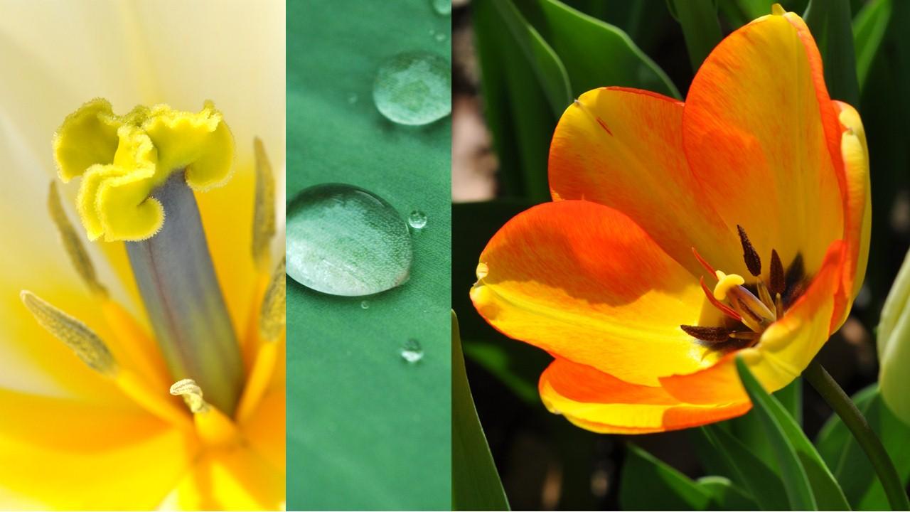 Nature_flore_Tulipe_04
