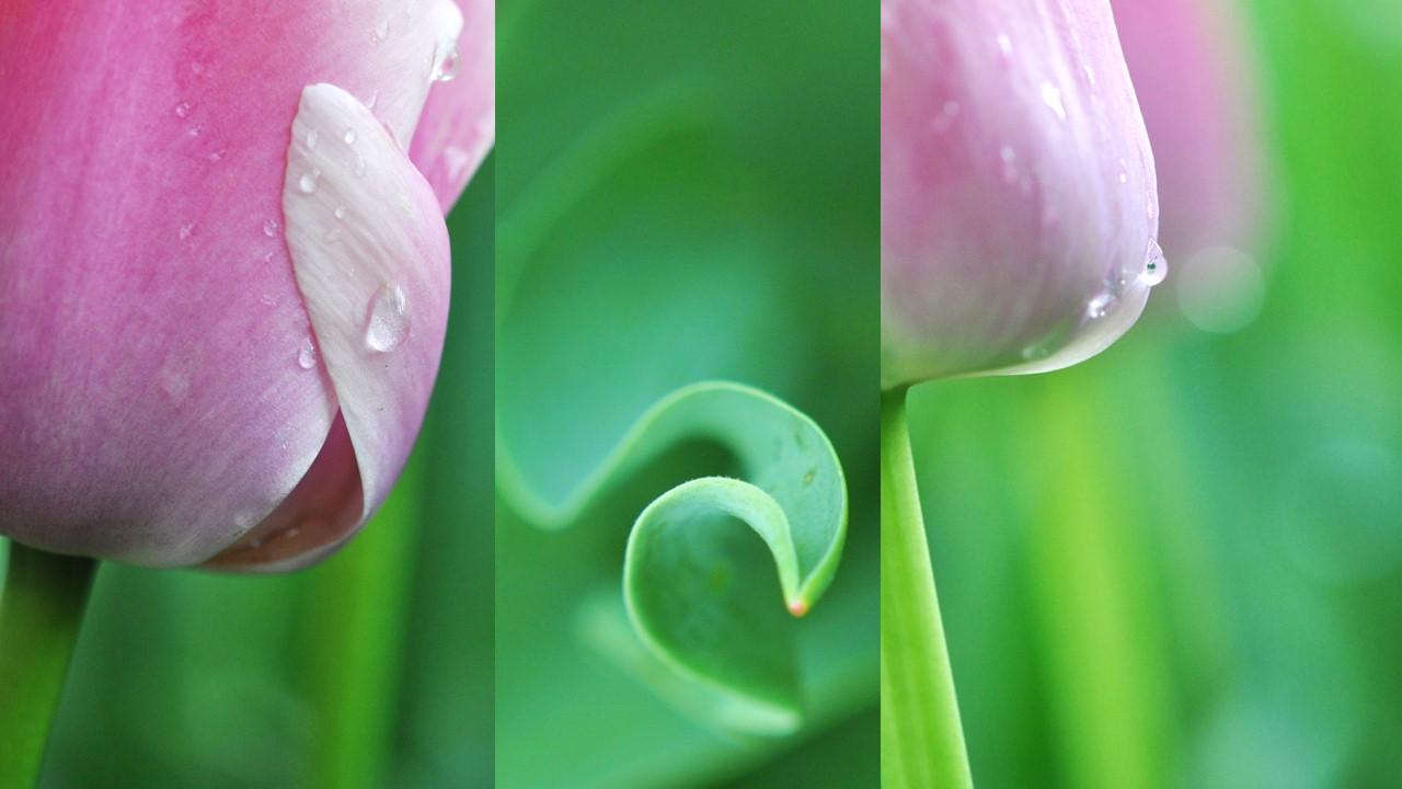 Nature_flore_Tulipe_05