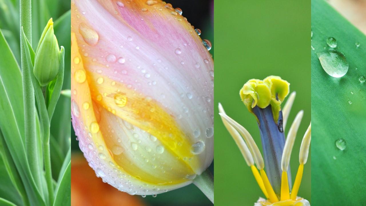 Nature_flore_Tulipe_07