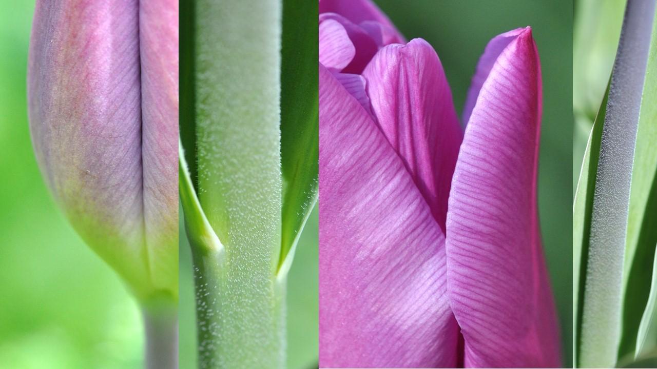 Nature_flore_Tulipe_09