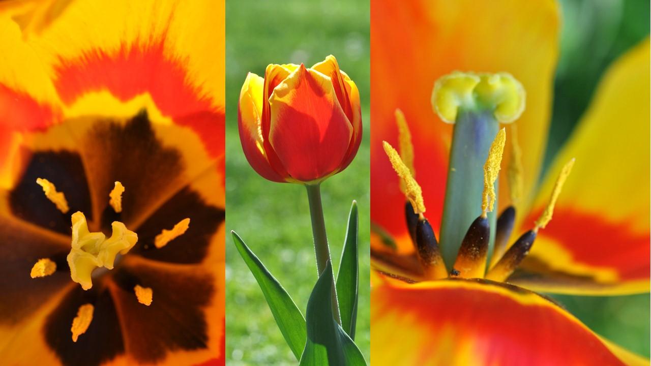 Nature_flore_Tulipe_13