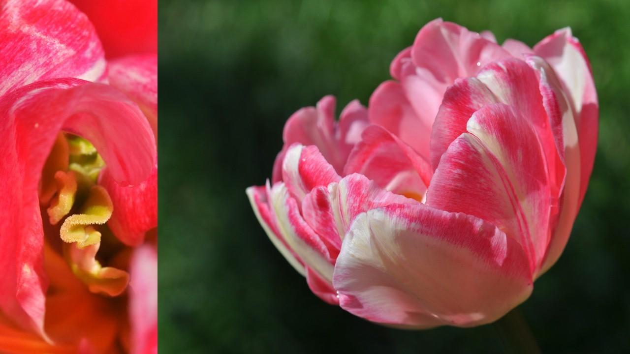 Nature_flore_Tulipe_14