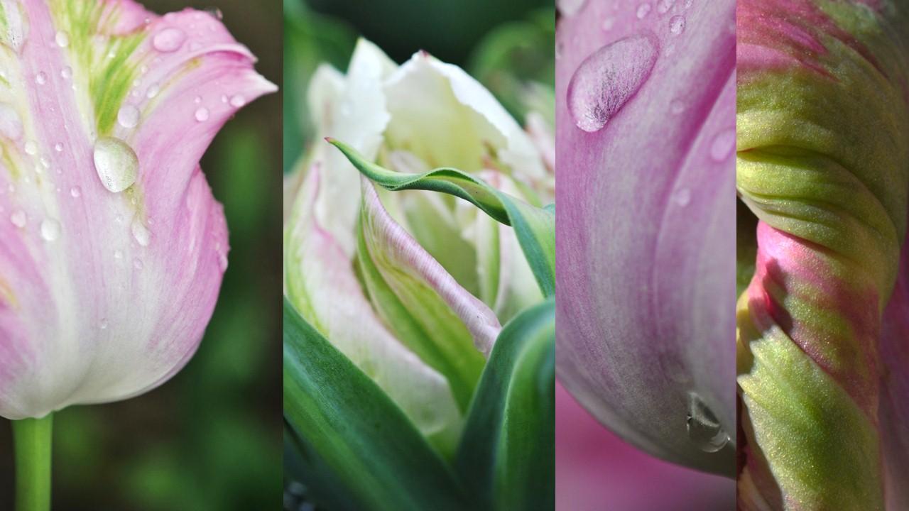 Nature_flore_Tulipe_15