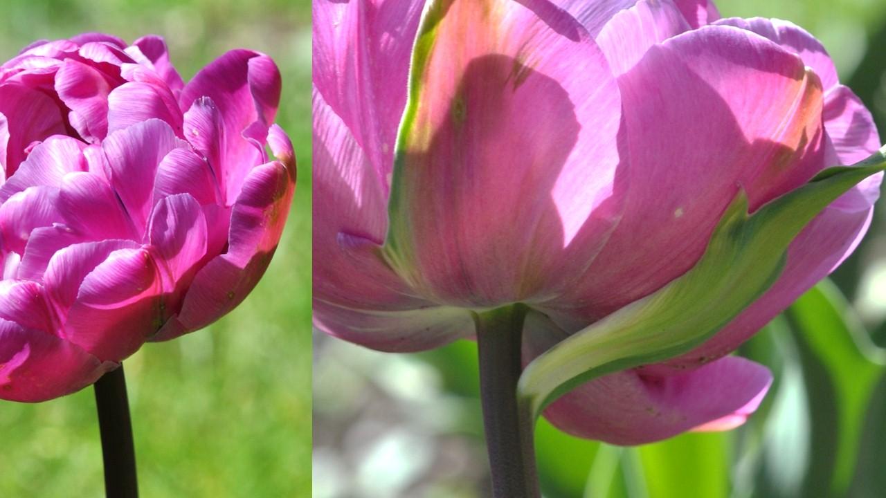 Nature_flore_Tulipe_19