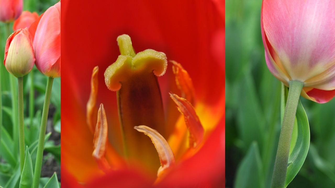 Nature_flore_Tulipe_20