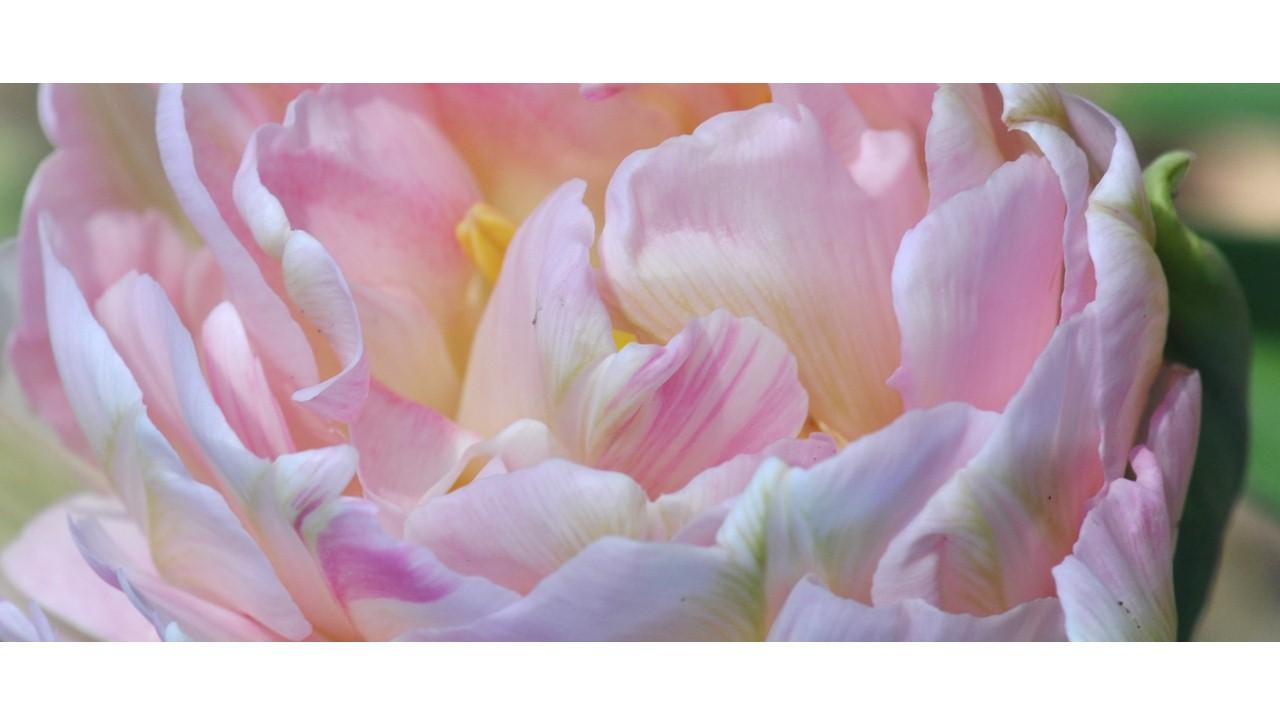 Nature_flore_Tulipe_21