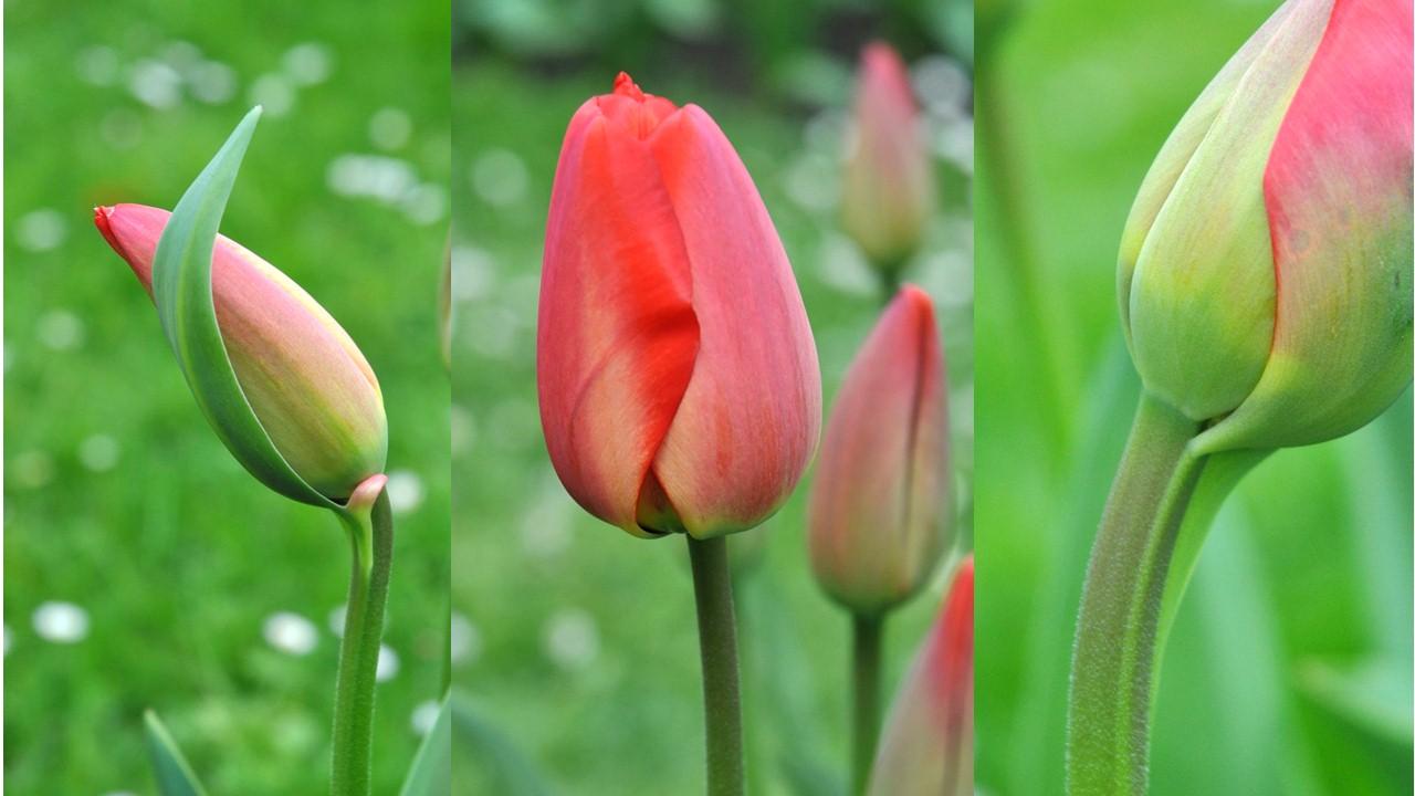 Nature_flore_Tulipe_23
