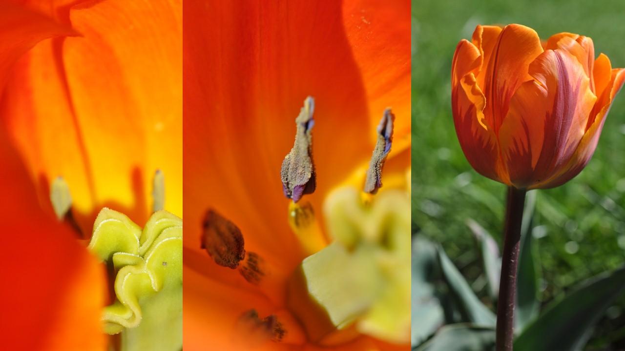 Nature_flore_Tulipe_24