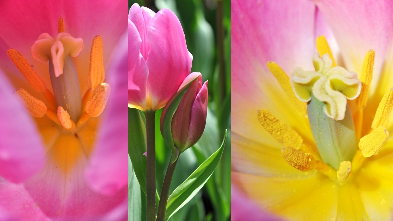 Nature_flore_Tulipe_25