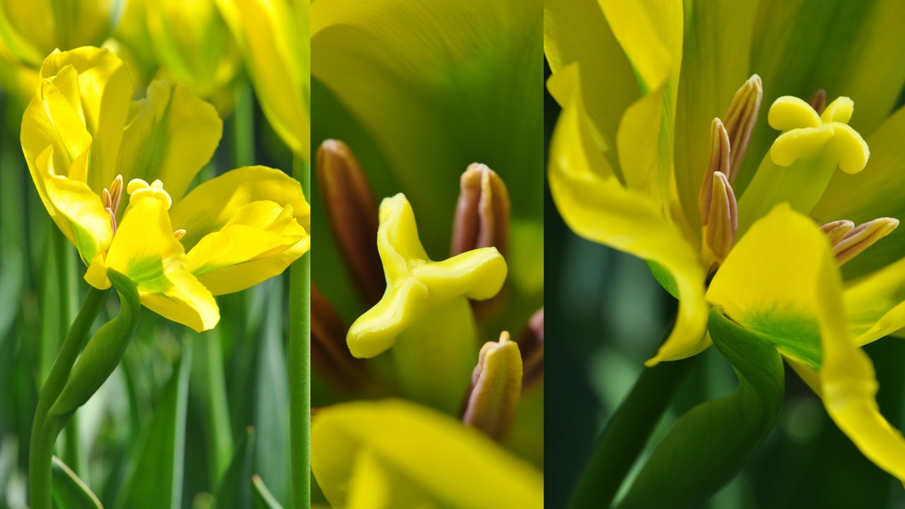 Nature_flore_Tulipe_30