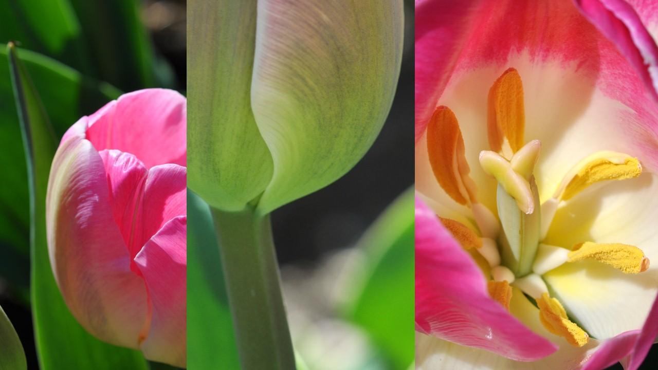 Nature_flore_Tulipe_31